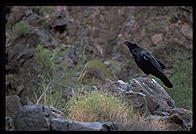 Raven in river camp.  Grand Canyon National Park.
