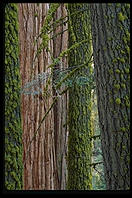 Redwoods.  King's Canyon National Park, California.