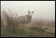 Sheep along the Military Road (R115) in the Wicklow Mountains, south of Dublin, Ireland.