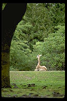 Giraffe framed by tree.  Seattle, Washington
