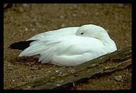 White bird.  Seattle, Washington