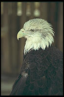 Bald Eagle. Everglades Wonder Gardens.  SW Florida