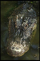 Alligator. Everglades Wonder Gardens.  SW Florida