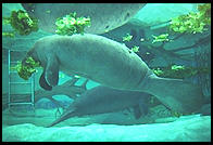 Snooty and Moe (manatees).  Parker Manatee Aquarium.  Bradenton, Florida.
