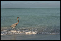 Great Blue Heron.  Sanibel Island, Florida
