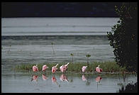 Roseate Spoonbills, Ding Darling Wildlife Refuge, Sanibel Island, Florida