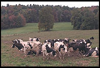 Dairy Cows.  Southern Vermont