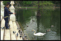 Swans in front of the Palacio de Cristal.  Madrid, Spain
