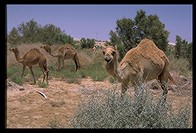 Camels owned by Bedouin tribe in Israel