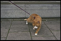 Cat being walked in Stockholm