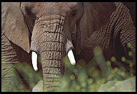 Elephants photographed through grass, as though on safari
