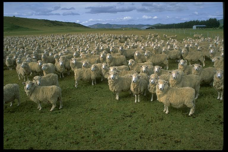 https://philip.greenspun.com/nz/sheep.jpg