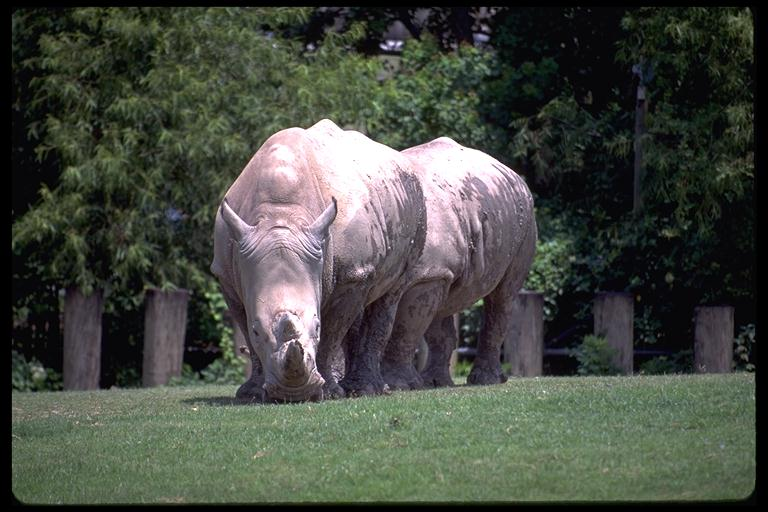 New Orleans Zoo--Rhino...